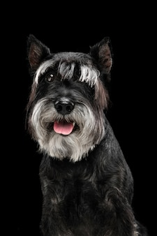 Joie. mignon chiot doux de chien ou animal de compagnie schnauzer nain posant isolé sur mur noir. concept de mouvement, amour des animaux de compagnie, vie animale. il a l'air heureux, drôle. copyspace pour l'annonce. jouer, courir.