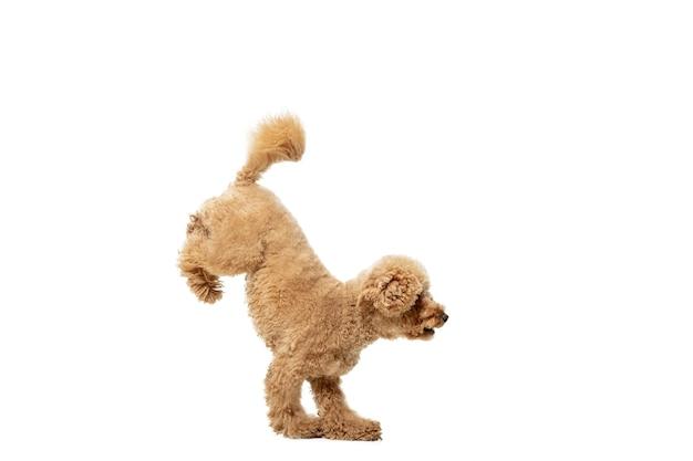 Joie. mignon chiot doux de chien brun maltipoo ou animal de compagnie posant isolé sur mur blanc. concept de mouvement, amour des animaux de compagnie, vie animale. il a l'air heureux, drôle. copyspace pour l'annonce. jouer, courir.