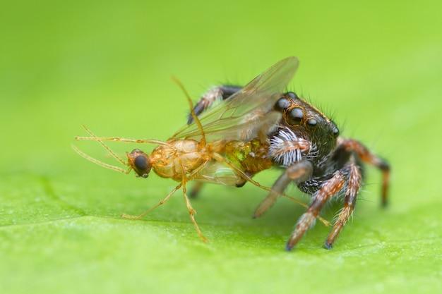 Joli bébé araignée sauteuse mangeant une proie sur feuille verte