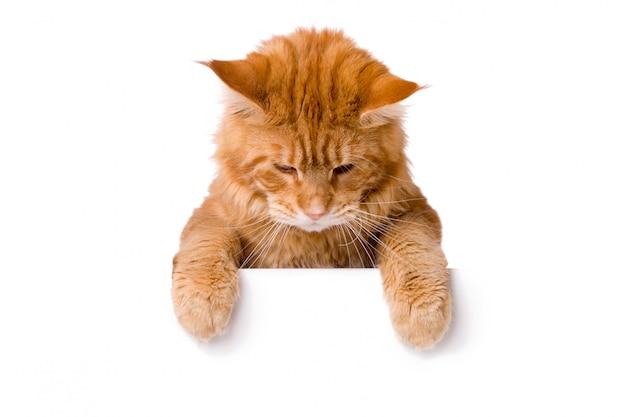 Joli chat au dessus de la bannière blanche