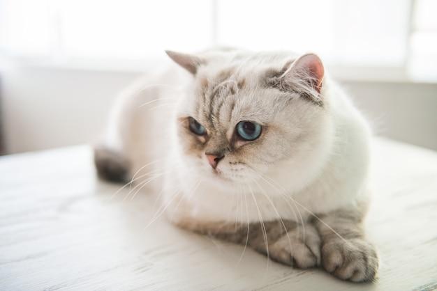 Joli chat aux yeux bleus est allongé sur la table chez le vétérinaire