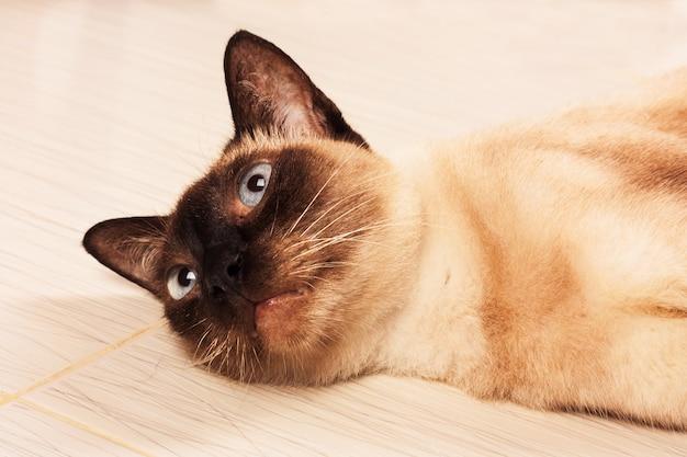 Joli chat brun allongé sur le sol