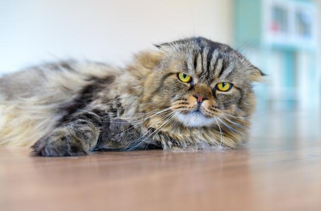 Joli chat écossais marron couché sur le sol