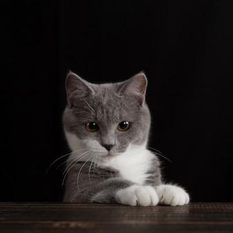 Un joli chat gris sur un mur sombre. animal de compagnie moelleux ludique.