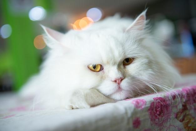 Le joli chat persan blanc dort sur la table.