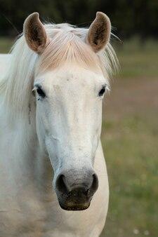 Joli cheval blanc libre dans les alpages