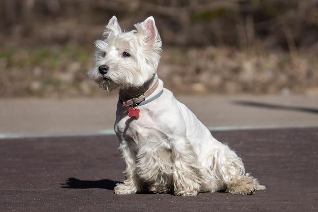 Joli chien blanc west highland terrier à la recherche d'alerte et ludique avec un arrière-plan flou de la nature.