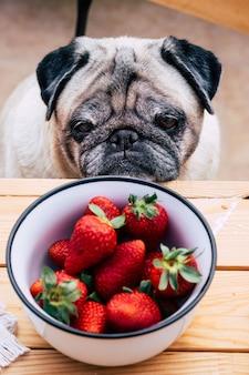 Joli chien carlin réfléchi regardant les fraises. assis à la table en bois comme un peuple. concept des meilleurs amis