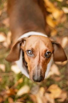 Joli chien teckel marron avec un collier beige