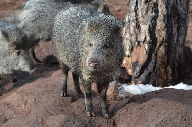 Joli groupe de cochons mouffettes à l'état sauvage