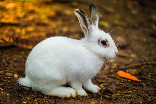 Un joli lapin blanc mange des carottes au zoo.