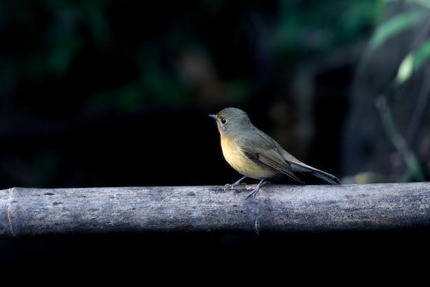 Joli oiseau sur le bambou et le fond vert foncé.