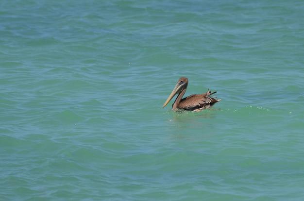 Joli pélican brun nageant dans les eaux bleues