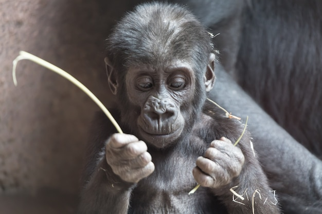 Joli petit bébé gorille joue avec un bâton