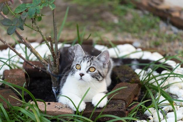Joli petit chat avec de beaux yeux jaunes sur un rosier à la recherche d'oiseaux dans le jardin en plein air