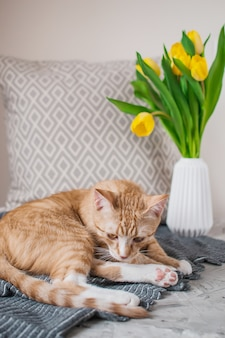 Joli petit chat gingembre couché dans une couverture grise à la maison