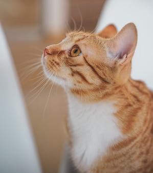 Joli petit chat gingembre portant une couverture grise à la maison, détendez-vous