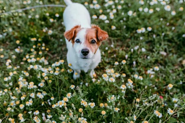 Joli petit chien assis dans un champ de fleurs de marguerite. printemps, animal de compagnie portrait en plein air. beau chien en regardant la caméra