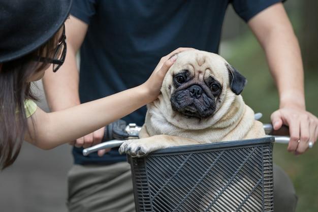 Joli petit chien carlin dans le panier de vélo avec le propriétaire
