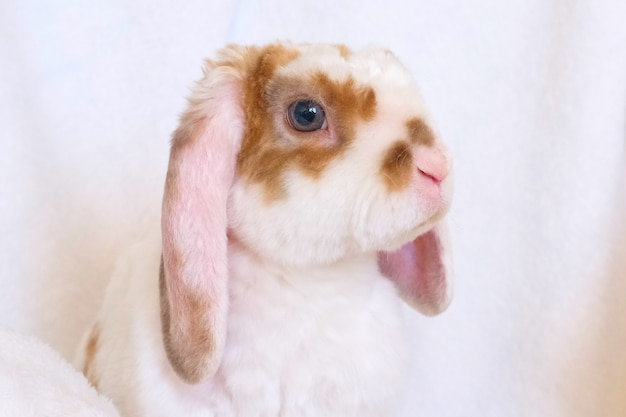 Joli petit lapin orange et blanc aux grandes oreilles