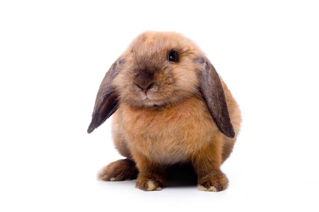 Joli petit lapin à oreilles tombantes, isolé sur blanc