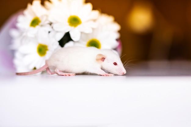 Joli petit rat blanc avec de grandes oreilles situées dans les fleurs blanches