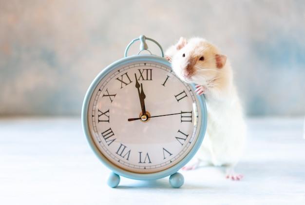 Joli petit rat blanc, la souris est assise dans des horloges vintage.