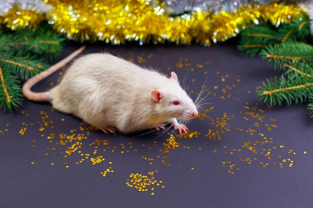 Joli rat blanc à noël