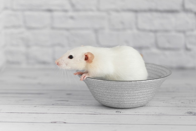 Un joli rat décoratif blanc est assis sur une assiette grise. portrait en gros plan d'un rongeur sur fond blanc.