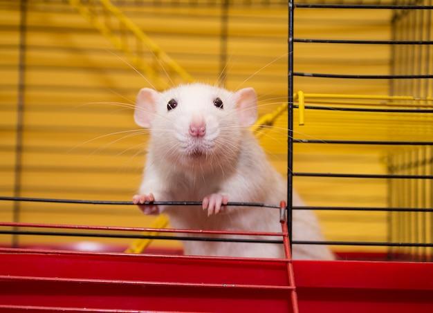 Joli rat de laboratoire de la race dumbo regardant dans une cage (mise au point sélective sur les yeux du rat)