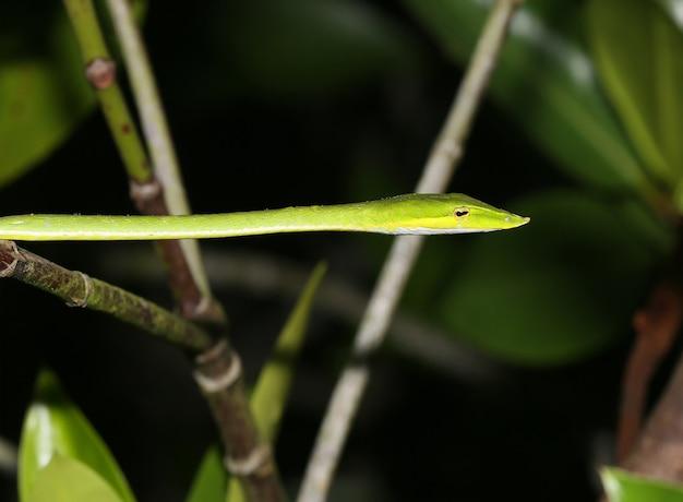 Un joli serpent vert a été pris au sri lanka