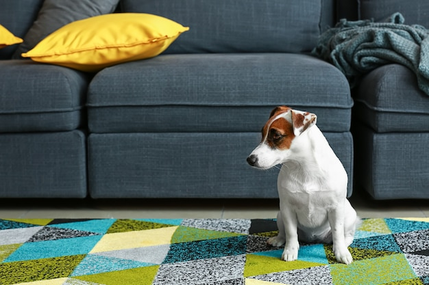 Joli terrier jack russell à la maison