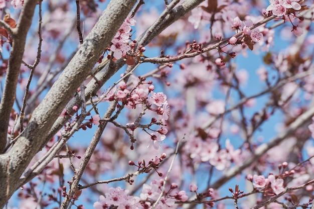 Jolie amandier à fleurs roses au mois de février