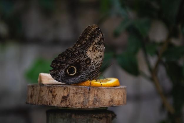 Jolie chouette papillon mangeant des fruits. papillon qui ressemble à un oeil.