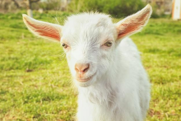 Jolie petite chèvre sur pré vert