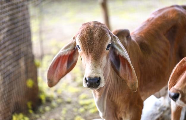 Jolie petite vache ou veau sur les terres agricoles