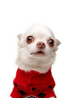 Jolie pose. petit chien chihuahua posant comme un cerf de noël isolé sur fond blanc.