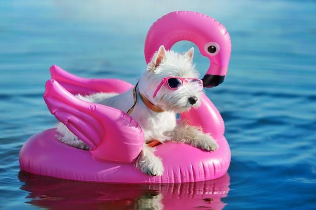 Jolie white west highland terrier portant des lunettes de soleil roses reposant sur un cygne en caoutchouc