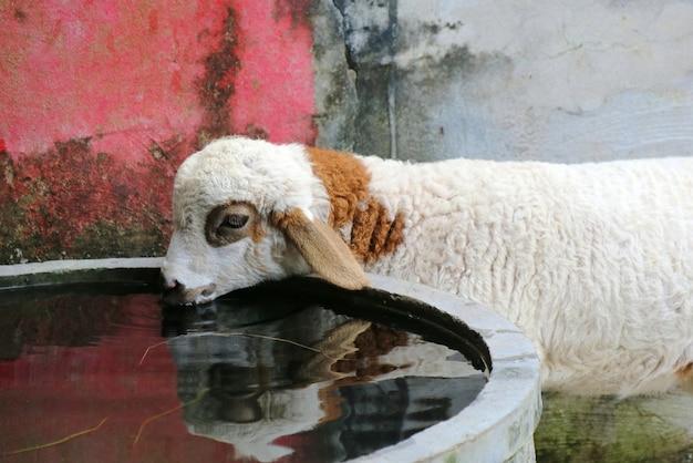 Jolis moutons blancs et bruns buvant de l'eau dans la piscine en ciment de la ferme.