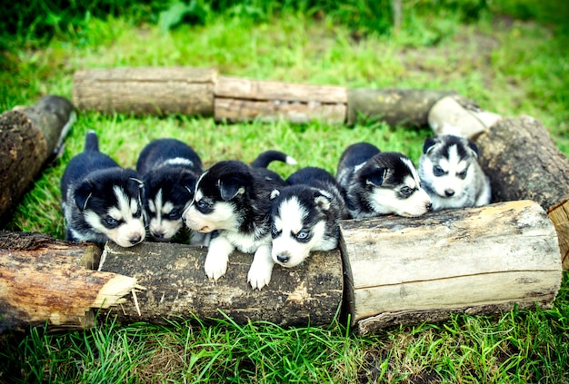 Jolis petits chiots husky en plein air dans le jardin