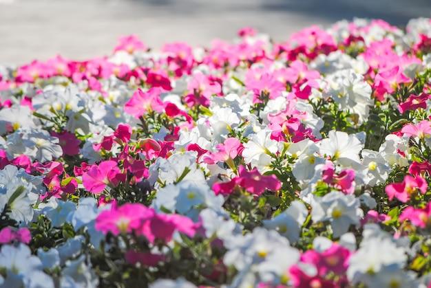 De jolis pétunias sur un beau parterre de fleurs