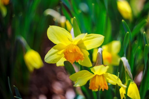 Jonquille au printemps printemps, été, été, haut, chaud, jaune