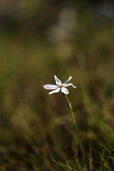 Une jonquille narcissus obsoletus en fleurs