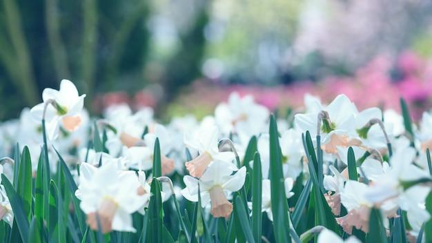 Jonquilles blanches en fleurs dans un parc