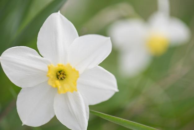 Jonquilles en pleine floraison au printemps pâques
