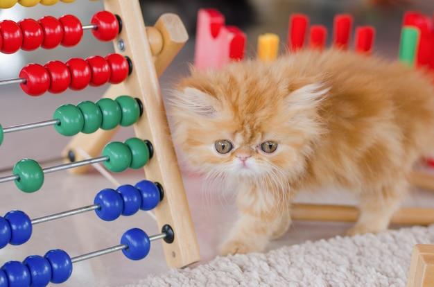 Jouer au chat persan avec jouet