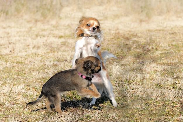 Jouer des chiots chihuahua