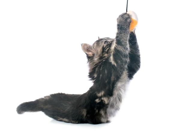 Jouer gris chaton