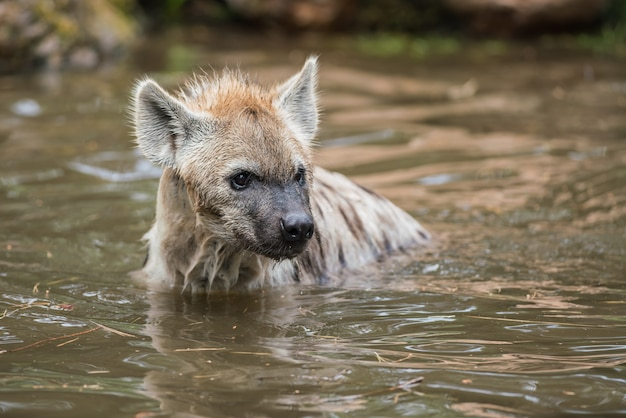 Jouer hyène dans l'eau