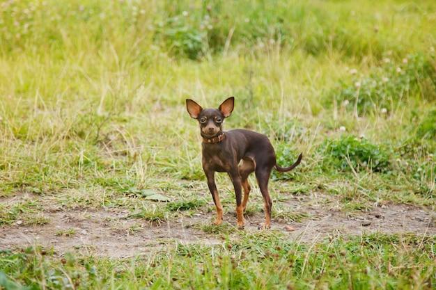 Jouet russe terrier se dresse sur la pelouse. photographie de chien apprivoisé de race terrier jouet courant sur l'herbe dans la nature. petits animaux de poche de race pure